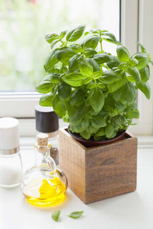 basil herb: fresh basil herb in pot olive oil kitchen window