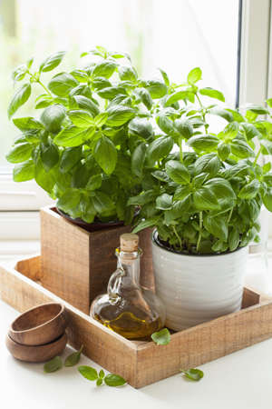 fresh basil herb in pot olive oil kitchen window
