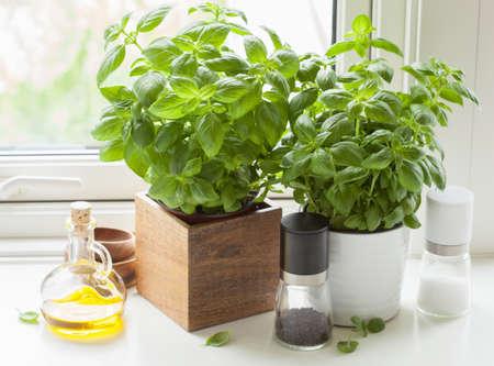świeża bazylia zioła w doniczce kuchennego okna oliwy z oliwek