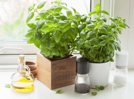 basil: fresh basil herb in pot olive oil kitchen window