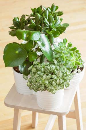 jade plant: houseplants fittonia albivenis, peperomia, crassula ovata, echeveria in white pots