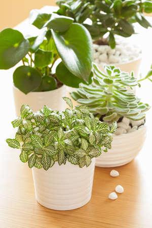 huisplanten fittonia albivenis, peperomia, crassula ovata, echeveria in witte potten Stockfoto