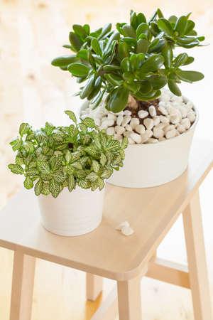 plant pots: houseplant Crassula ovata jade plant money tree and fittonia in white pots
