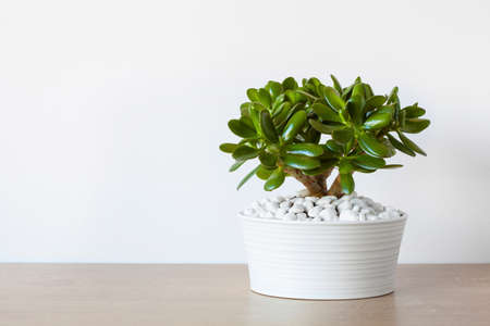 jade plant: houseplant Crassula ovata jade plant money tree in white pot
