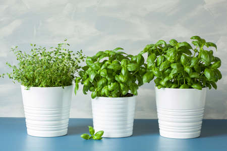 fresh basil thyme herbs in pots Фото со стока - 77879332