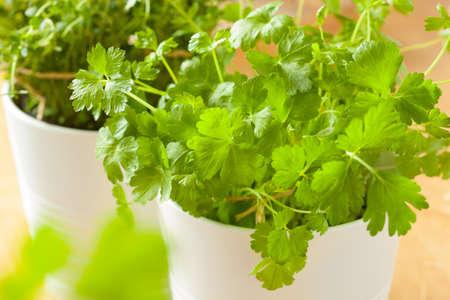 fresh leaf: fresh cilantro herb coriander leaf in pot