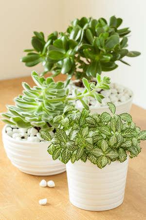 白い鉢にエケベリア、クラッスラ属 ovata 観葉植物 fittonia albivenis
