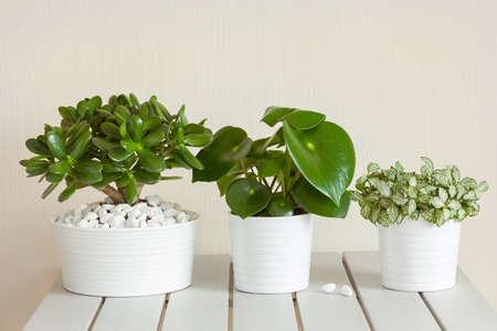白い鉢にサダソウ属、クラッスラ属 ovata 観葉植物 fittonia albivenis 写真素材