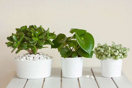 houseplants fittonia albivenis, crassula ovata, peperomia in white pots