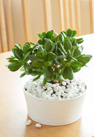 観葉植物クラッスラ属 ovata カネノナルキお金ツリー ホワイト ポット