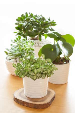 白い鉢にエケベリア、クラッスラ属 ovata、サダソウ属観葉植物 fittonia albivenis