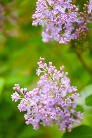 fragrant: beautiful lilac flowers in garden