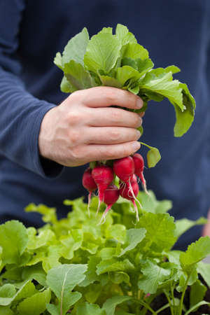 gather: man gardener picking radish from vegetable container garden on balcony