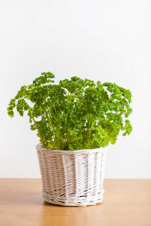 fresh parsley herb in white pot