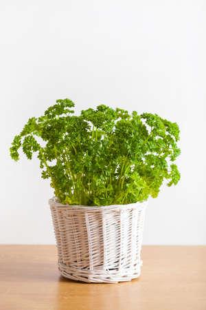 fresh parsley herb in white pot