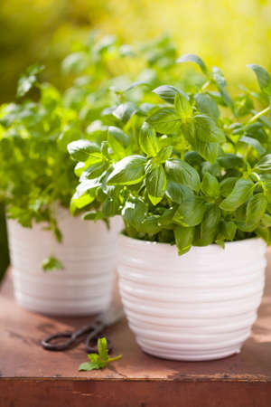 fresh basil parsley mint herbs in garden Stock Photo