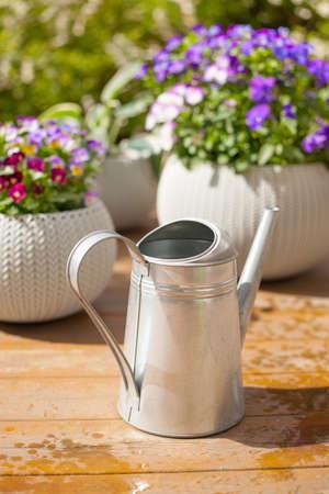 beautyful: beautiful pansy summer flowers in flowerpots in garden, watering can