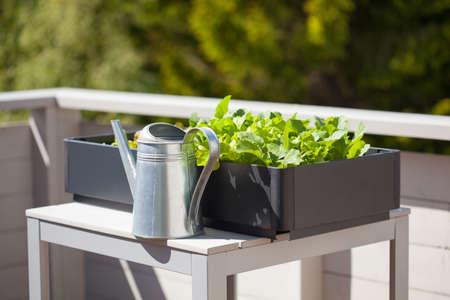大根とサラダ バルコニー上のコンテナーに成長しています。野菜の庭