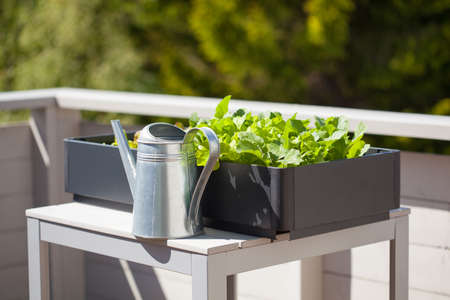 growing radish and salad in container on balcony. vegetable garden Reklamní fotografie - 81887776