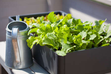 growing radish and salad in container on balcony. vegetable garden Banco de Imagens - 81888253