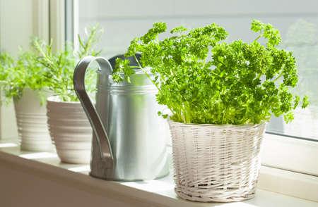 fresh parsley herb in white pot on window Stock fotó - 83599382