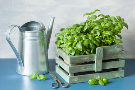 fresh basil herbs in rustic container, watering can Banco de Imagens - 83925362