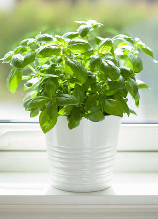 fresh basil herb in pot on window Stok Fotoğraf