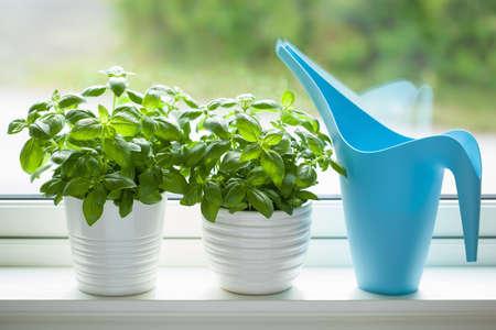 fresh basil herb in pot on window Stok Fotoğraf