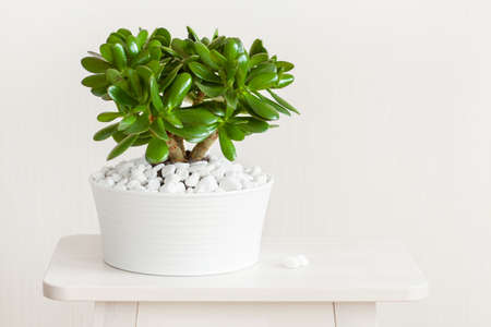흰색 냄비에 houseplant Crassula ovata 옥 공장 돈 나무