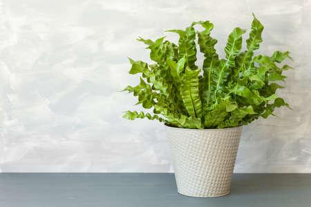 houseplant Asplenium nidus in flowerpot