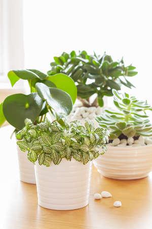 エケベリア、クラッスラ属 ovata、サダソウ属の観葉植物 fittonia albivenis