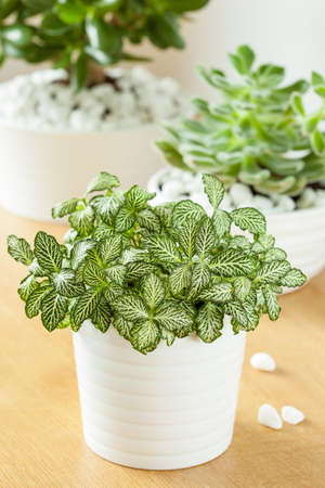 jade plant with white flowers houseplants fittonia albivenis crassula ovata echeveria in white