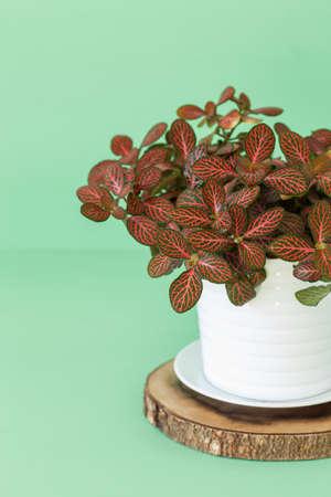 houseplant fittonia albivenis in white pot Zdjęcie Seryjne