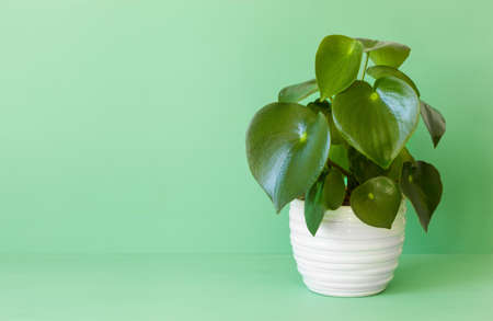houseplant peperomia in white pot Stok Fotoğraf