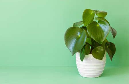 houseplant peperomia in white pot Stockfoto