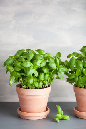 fresh basil herb in pot 스톡 콘텐츠