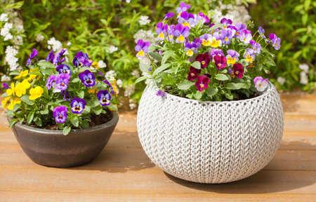 beautiful pansy summer flowers in flowerpots in garden 版權商用圖片