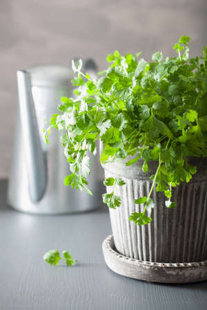 fresh cilantro herb in pot Stock Photo