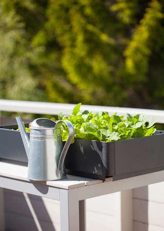 Wachsender Rettich und Salat im Behälter auf Balkon . Gemüsegarten Standard-Bild - 98286451