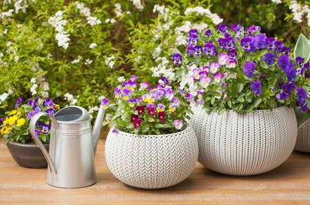 beautiful pansy summer flowers in flowerpots in garden Stock Photo