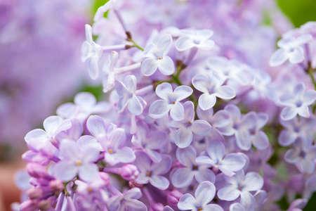 hermosas flores de color lilas en el jardín