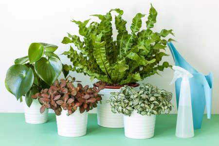 houseplants Asplenium nidus, peperomia and fittonia in flowerpots 版權商用圖片