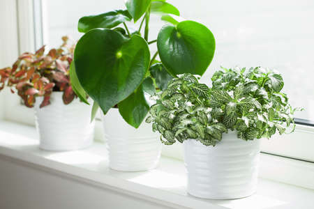 houseplants fittonia albivenis and peperomia in white flowerpots
