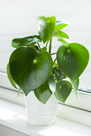 houseplant peperomia in white pot 版權商用圖片