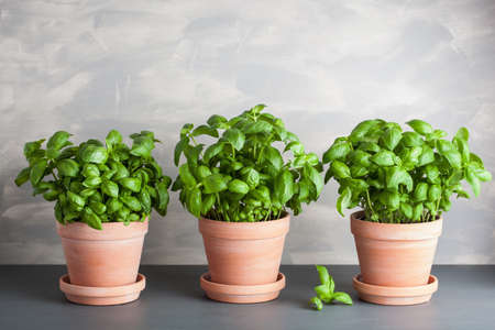 fresh basil herb in terracotta flowerpot