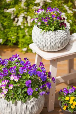 beautiful pansy summer flowers in flowerpots in garden 免版税图像