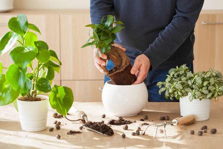 tuinieren, thuis planten. man verhuist ficus kamerplant