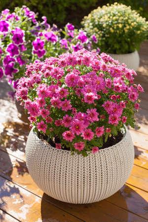 beautiful summer flowers in flowerpots in garden. chrysanthemum, petunia