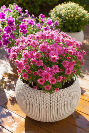 beautiful summer flowers in flowerpots in garden. chrysanthemum, petunia