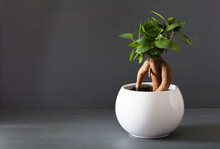 houseplant ficus microcarpa ginseng in white flowerpot Imagens
